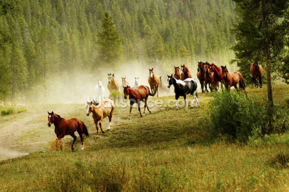 Born Free Horses Wallpaper Wall Murals