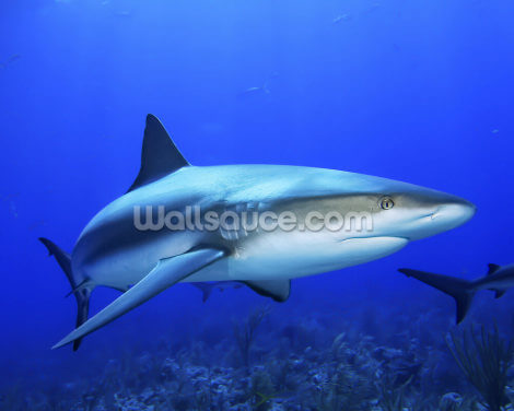 Caribbean Reef Shark Wallpaper Wall Murals
