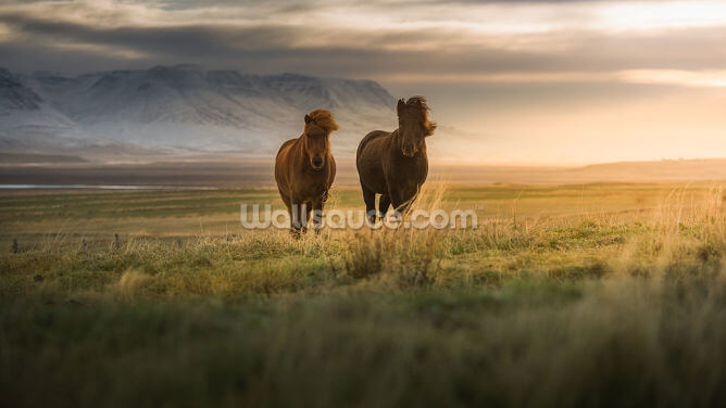 Icelandic Horses Wallpaper Wall Murals