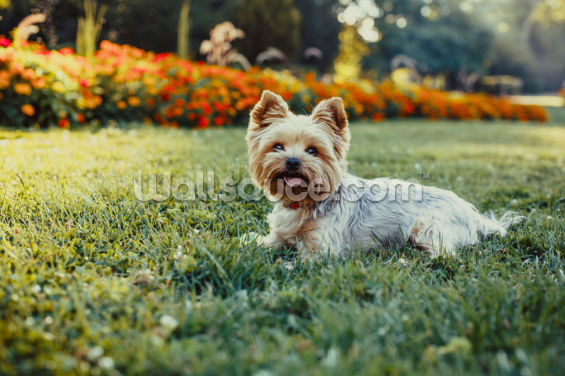 Happy Yorkshire Terrier Wallpaper Wall Murals