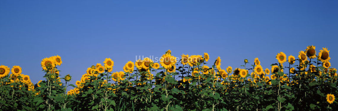 Illinois Sunflowers Wallpaper Wall Murals
