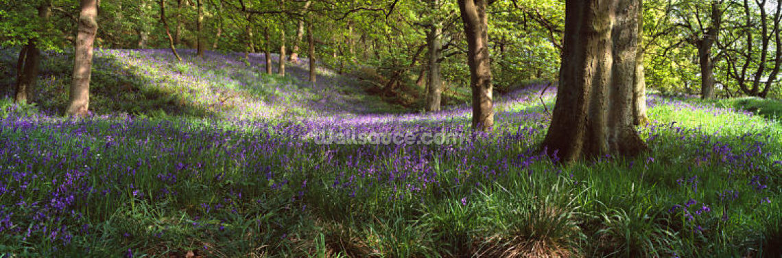 Bluebells In A Forest Wallpaper Wall Murals