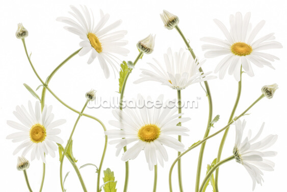Ox Eye Daisies Wallpaper Wall Murals