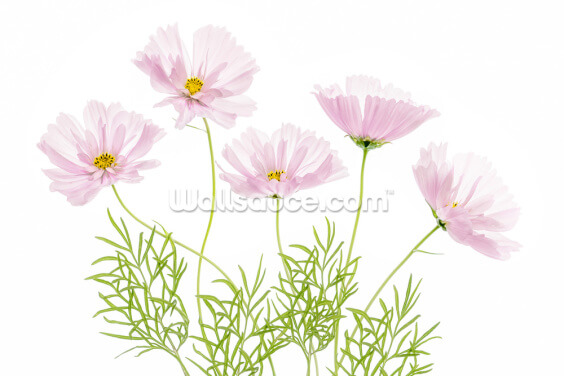 Cosmos Flowers Wallpaper Wall Murals