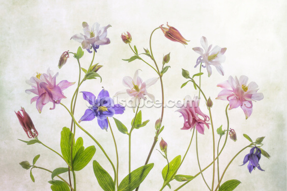 Columbine Flowers Wallpaper Wall Murals