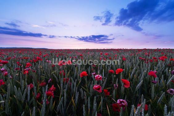 Red Poppies Wallpaper Wall Murals