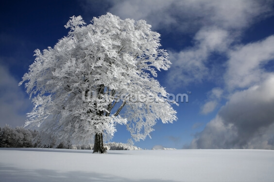 White Windbuche in Black Forest Wallpaper Wall Murals