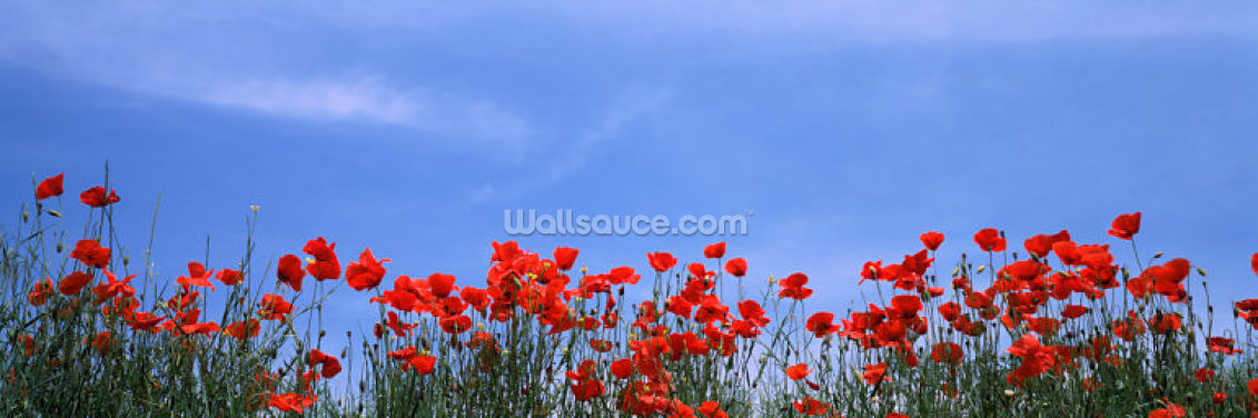 Tuscan Poppies Wallpaper Wall Murals