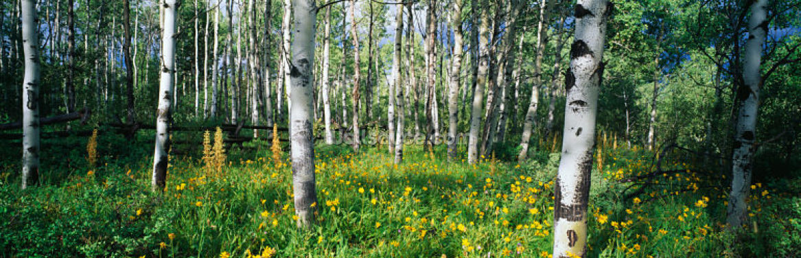 Rocky Mountain Aspens Wallpaper Wall Murals