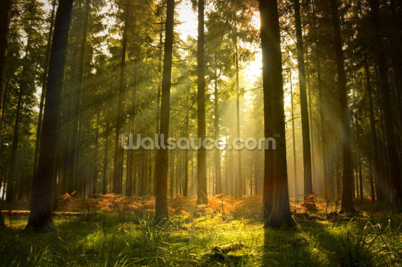 Beautiful Forest Wallpaper Wall Murals