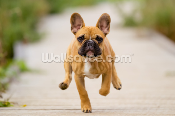 Bulldog on the Run Wallpaper Wall Murals