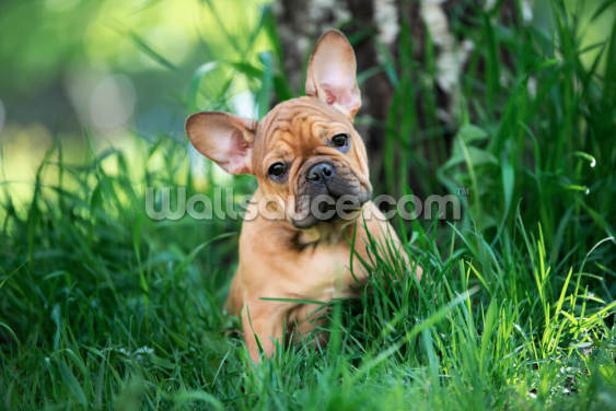 Golden French Bulldog Wallpaper Wall Murals