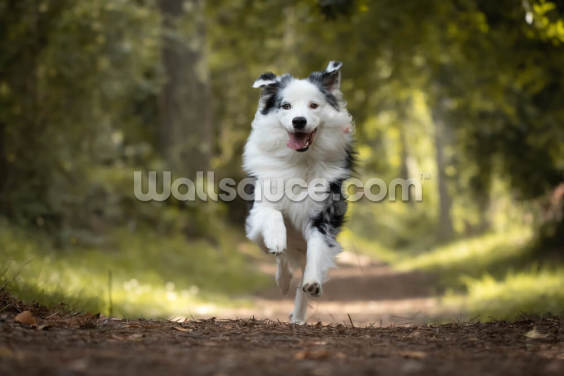 Australian Shepherd Wallpaper Wall Murals