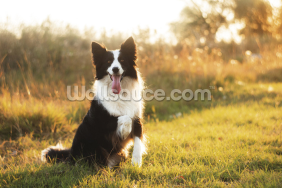 Border Collie Wallpaper Wall Murals