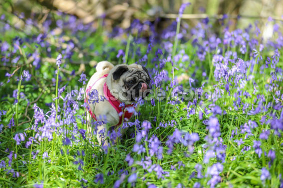 Pug in Bluebell Woods Wallpaper Wall Murals