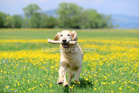Golden Retriever Fetch Wallpaper Wall Murals