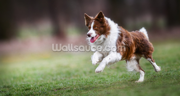 Brown Border Collie Wallpaper Wall Murals