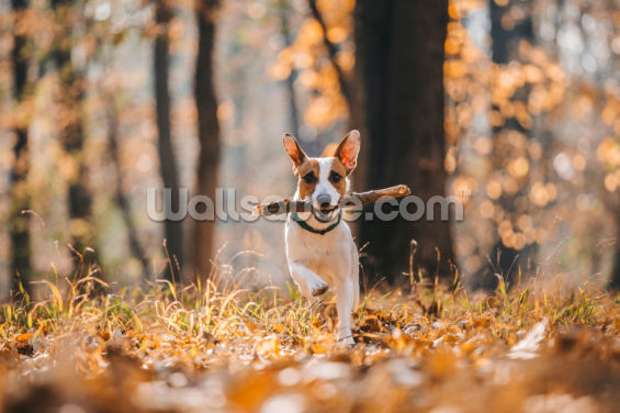 Jack Russell Wallpaper Wall Murals