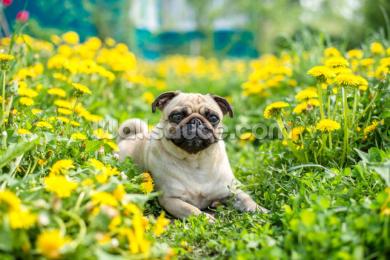 Pug in Paradise Wallpaper Wall Murals