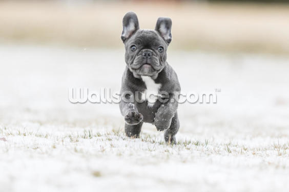 French Bulldog Puppy Wallpaper Wall Murals