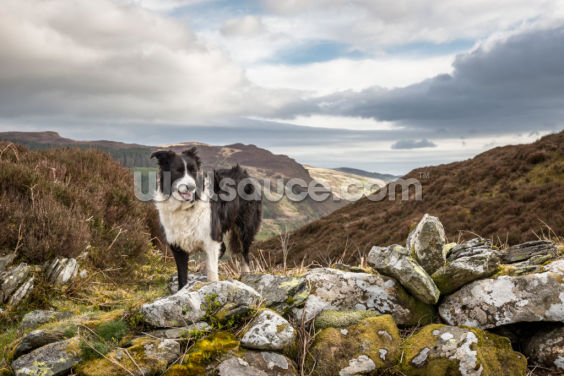 Welsh Mountain Collie Wallpaper Wall Murals