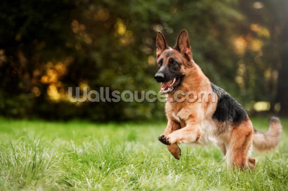 German Shepherd Wallpaper Wall Murals