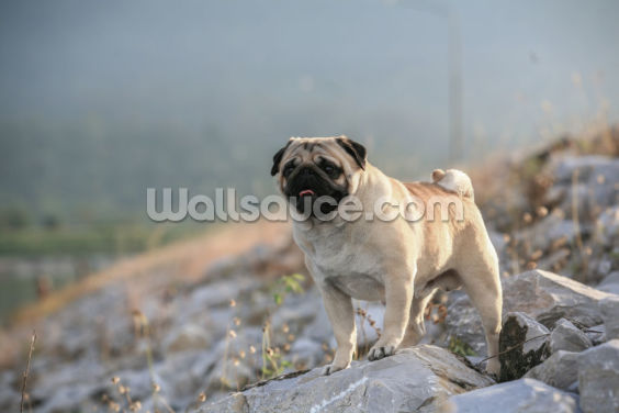 Pug Stud Wallpaper Wall Murals