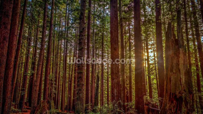 Redwood Sun Wallpaper Wall Murals