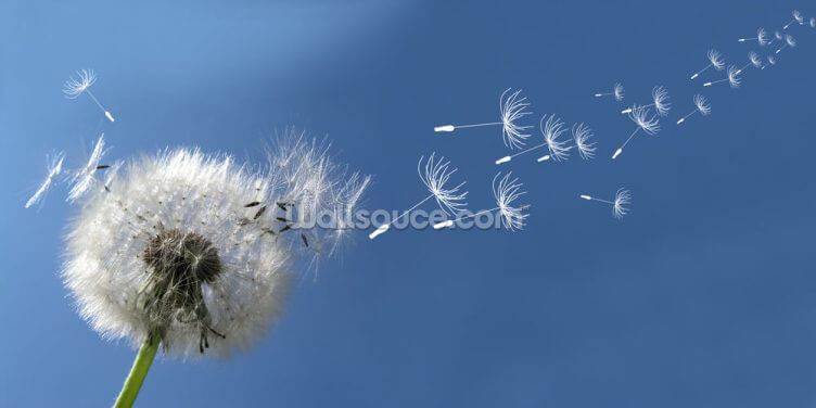 Dandelion Breeze Wallpaper Wall Murals