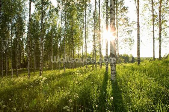Sunlit Birch Tree Woodland Wallpaper Wall Murals