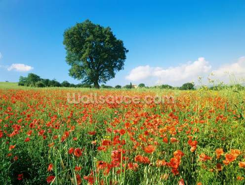 Sunny Spring Poppies Wallpaper Wall Murals