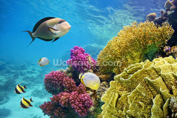 Coral Reef - Red Sea - Egypt Wallpaper Wall Murals
