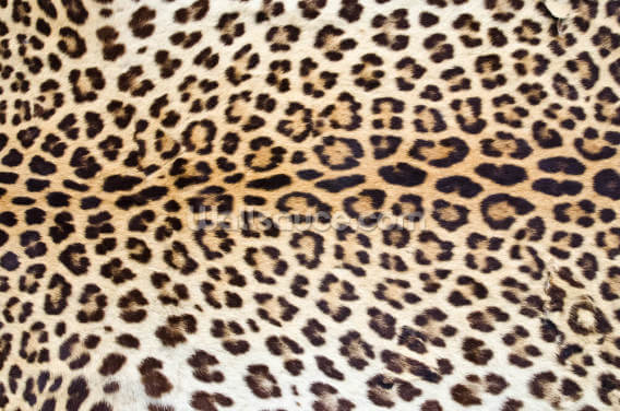 Jaguar Print Wallpaper Wall Murals