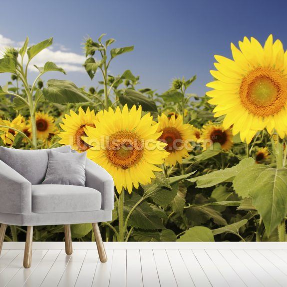 Hawaii, Oahu, North Shore, Sunflower Field wallpaper mural room setting