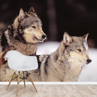 Three Gray Wolves At The Forests Edge