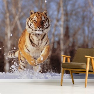 Siberian Tiger Charging Through Winter Snow