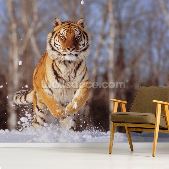 Siberian Tiger Charging Through Winter Snow wall mural room setting