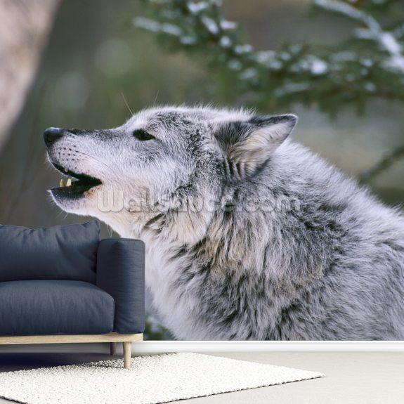 Gray Wolf Howling wallpaper mural room setting