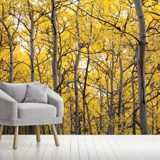 Autumn Scenic Of Colorful Yellow Aspen Trees