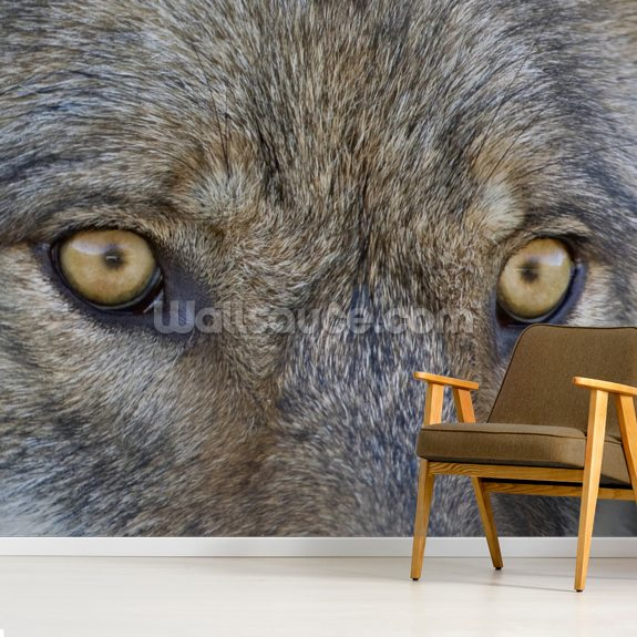 Eyes Of A Gray Wolf wall mural room setting