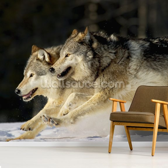 Pack Of Grey Wolves Running Through Deep Snow 2 wallpaper mural room setting