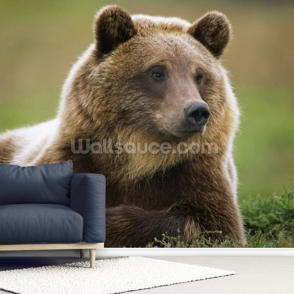 Brown Bear Laying Down At Alaska Wildlife Conservation Center mural wallpaper room setting