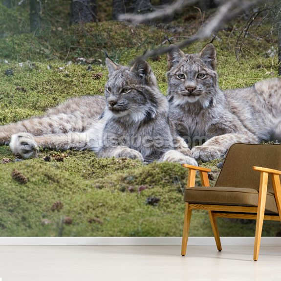 Pair Of Lynx Denali National Park wallpaper mural room setting