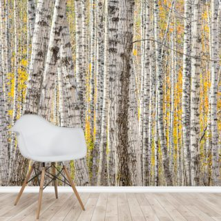 A Poplar Tree Forest In Autumn Wallpaper Wall Murals
