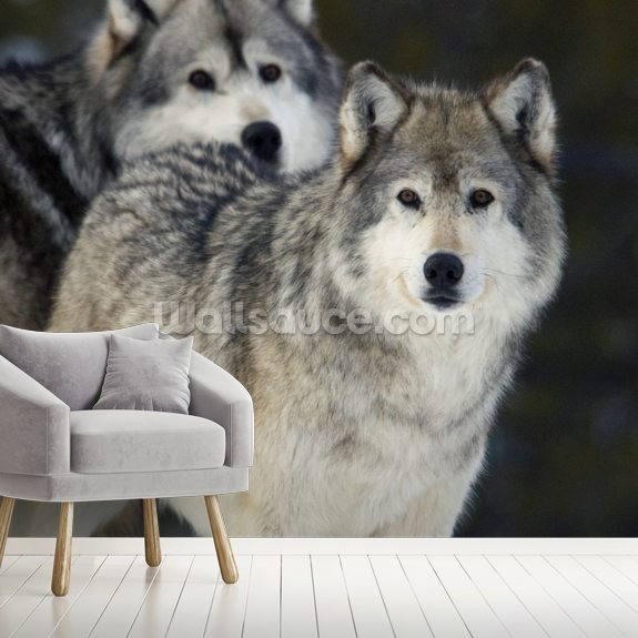 Gray Wolves in Winter at Grizzly and Wolf Center mural wallpaper room setting