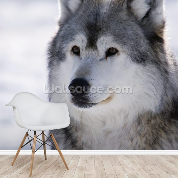 Gray Wolf Winter Portrait wall mural room setting