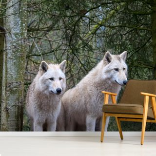 White Wolf Pair at the Woodland Park Zoo in Seattle