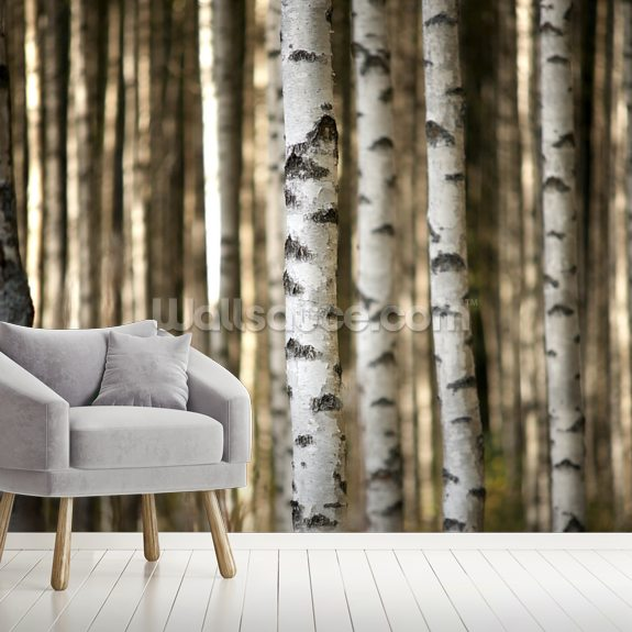 Birch Trees Wallpaper Mural Wallsauce Au