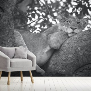 Resting Ugandan Lion Wallpaper Wall Murals