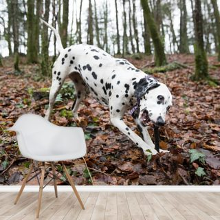 Dalmatian Dog Wallpaper Wall Murals